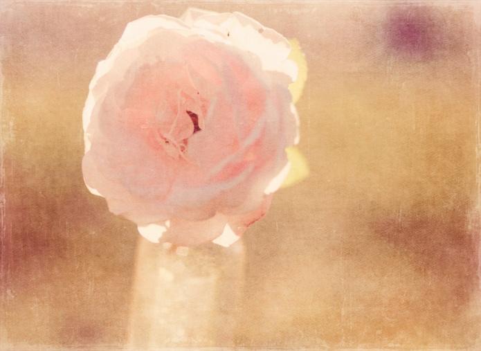 rosa2 copy