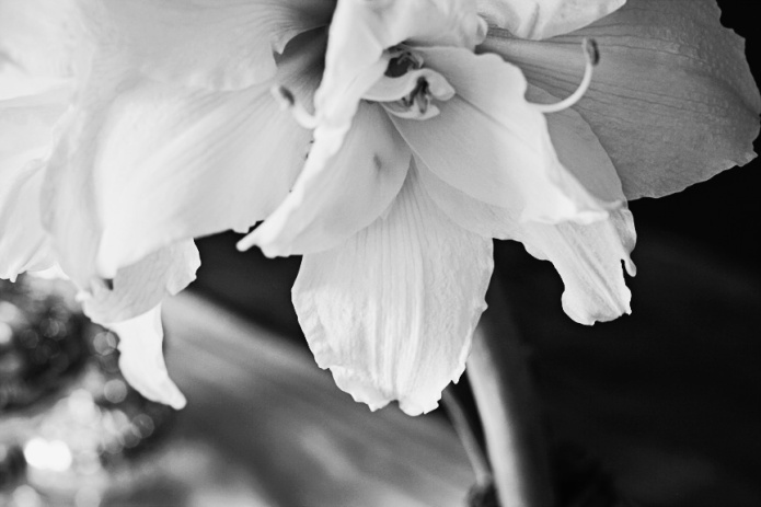 amaryllis copy